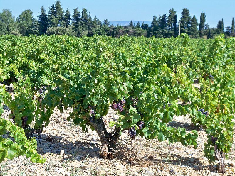ammendement vigne